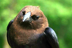 Brown-headed cowbird (Photo by Stephen Davis)