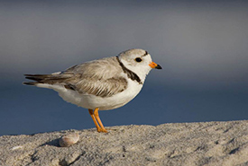 Piping plover (Photo by Natural Resources Canada)