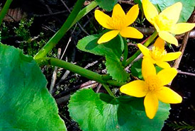 Marsh marigold (Photo by NCC)