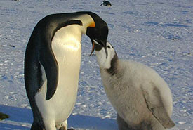 Emperor penguin feeding its chick (Photo by Hannes Grobe/AWI, CC BY 3.0)